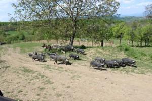 Crne svinje (Small)