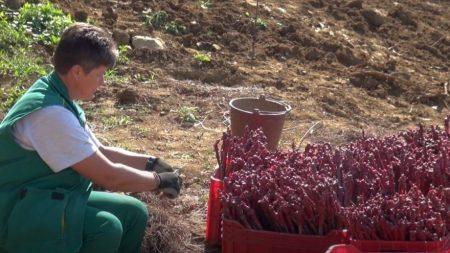 Pinot crni i graševina klonske selekcije u novom vinogradu Vlade Krauthakera